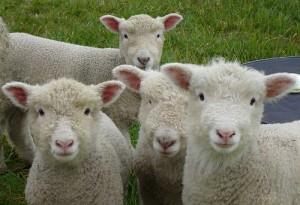 Sheep need the shepherd